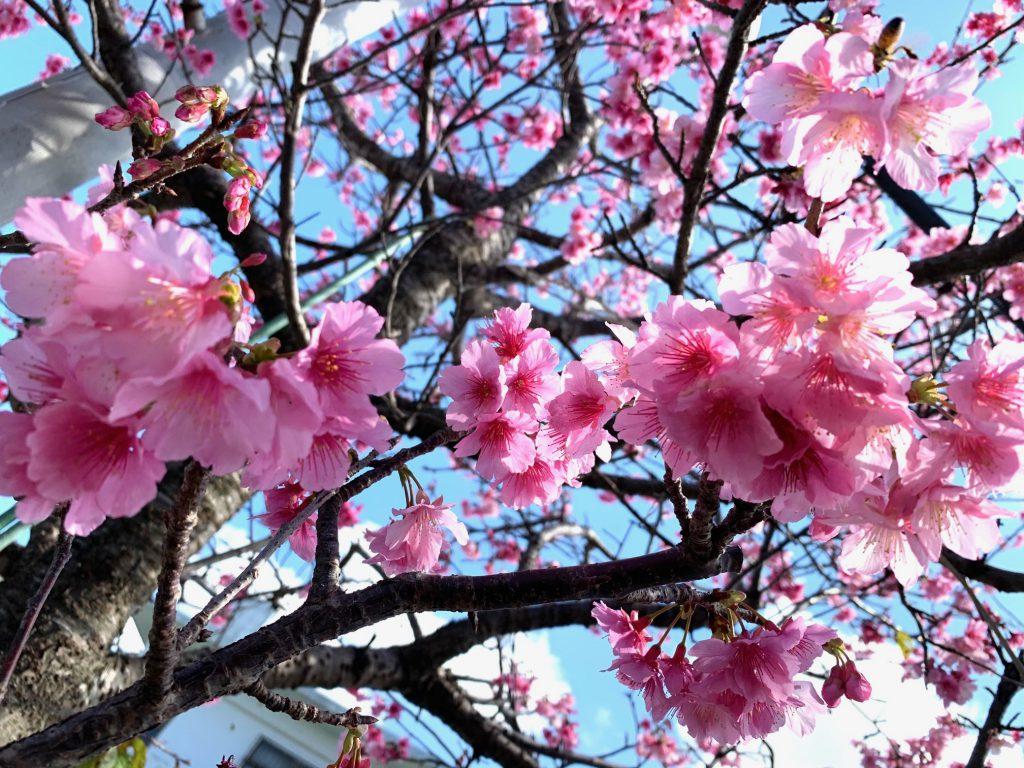 桜咲く!~花だより~